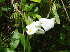 Cala Lilly at Haruru Falls