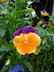 Pretty Pansy