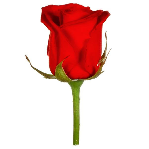 external image red-rose.jpg