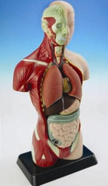 Human+body+anatomy+liver