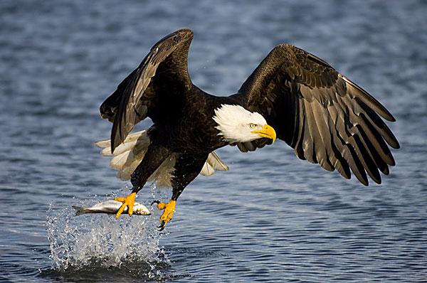 Reserva de la Biósfera el Vizcaíno Aguila-calva+1