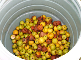 Windfall Apples For More Rakia
