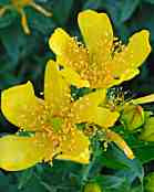 St John's Wort - No St John's Medical Assistance Needed