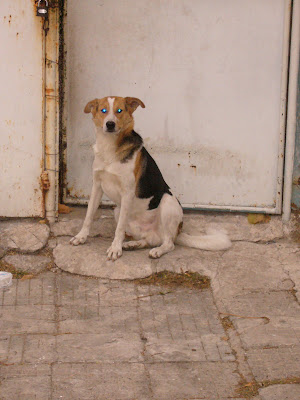 Typical Yambol Stray Dog