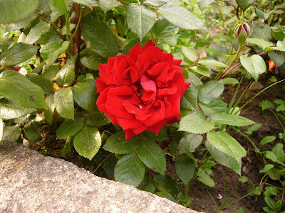 A Yambol Rose - One Of Millions In Bulgaria
