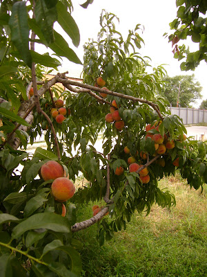 Public Peaches Untouched In Yambol