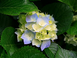 bunga sribubulan