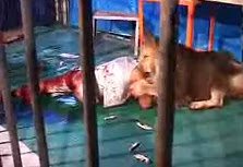 Lion Attacks Man In Cage
