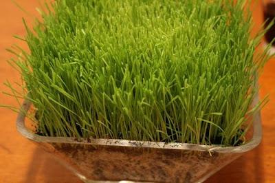 Wheatgrass Diabetes Prevention