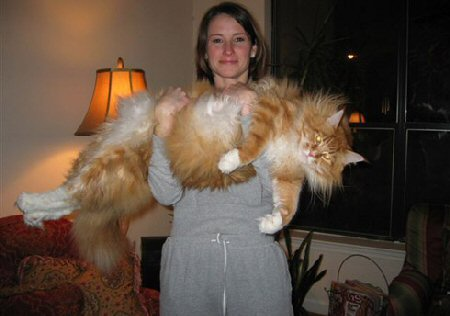 1001archives world s biggest cat ever seen