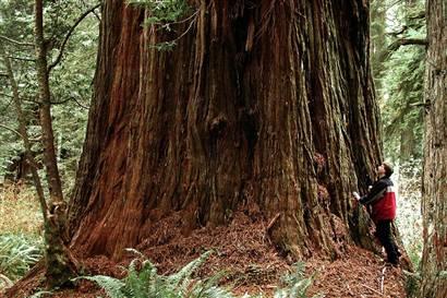World S Tallest Tree Coast Redwood Myclipta