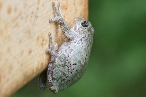 Vacation barefoot travel blog the infamous tree frogs of jamaica