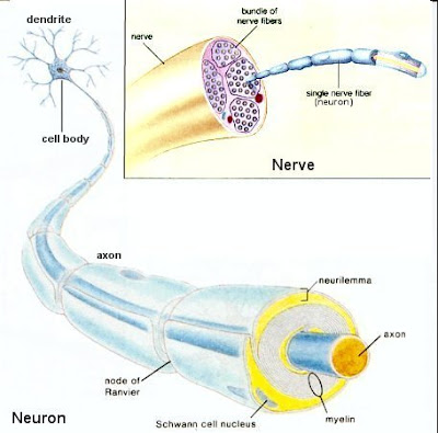 Nerve Repair Now Possible
