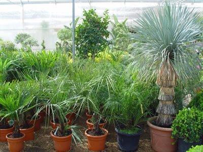 Todo jardines palmeras de interior for Palmeras de interior