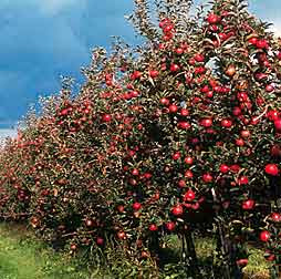Casa y jardin arboles frutales generalidades for Arboles frutales para jardin