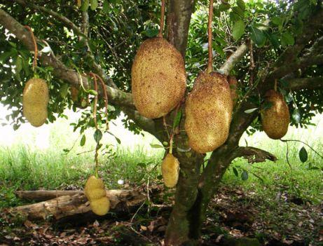 Dünyanın ağaçta yetişen en büyük meyvası jakfruit