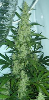 medicinal marijuana uses for