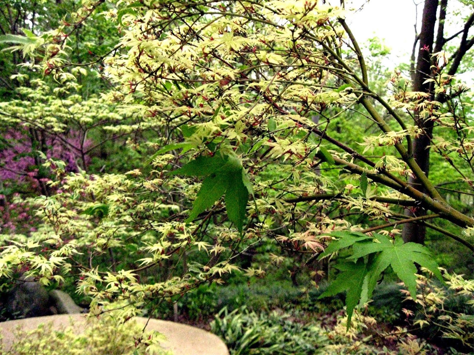 acer palmatum  has
