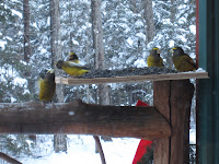 Evening Grosbeaks – Creepy Clowns of the Adirondacks are Baaaack!