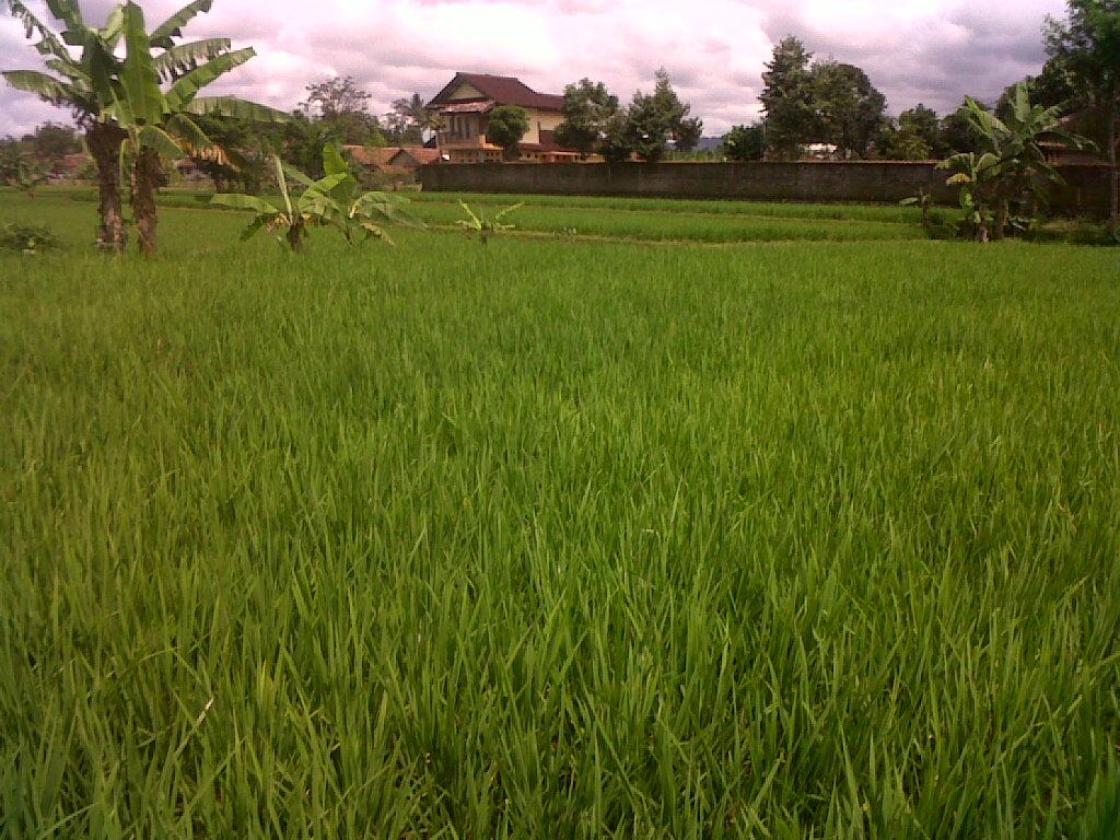 Dijual Sawah Produktif Di Daerah Cisaat Sukabumi