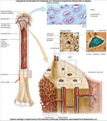 Human Anatomy & Physiology | Ismail Mortada Medical Blog