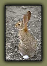 A Desert Bunny