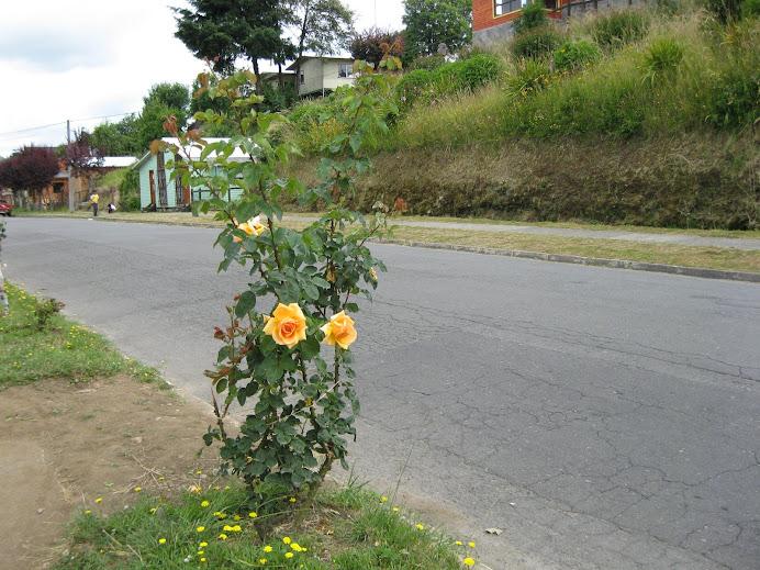 PANGUIPULLI LA CIUDAD DE LAS ROSAS