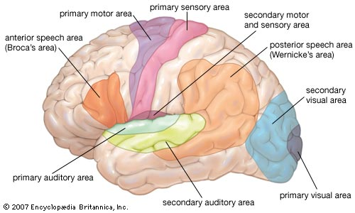 Gururajn human brain facts human brain facts women are twice as likely to be diagnosed with depression than men in the united states ccuart Image collections