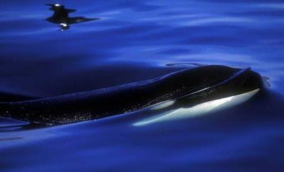 Killer whales orca