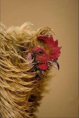 Different types of chickens | Curious, Funny Photos / Pictures