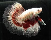 betta fish halfmoon