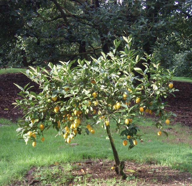 Trees on pinterest for When to transplant lemon tree seedlings
