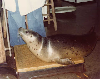 Harbor seal trained for weighing