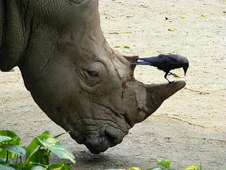 http://3.bp.blogspot.com/_TQt2G0hkYlY/TTEOvLci3qI/AAAAAAAAA-g/2CvDhafDUvc/s320/the-rhino-and-a-bird.jpg