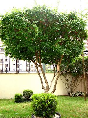 http://3.bp.blogspot.com/_TROCmp08Oro/SQOAMCyBgpI/AAAAAAAABB0/rlCgaUbcPI0/s400/Pintangueira1c.jpg