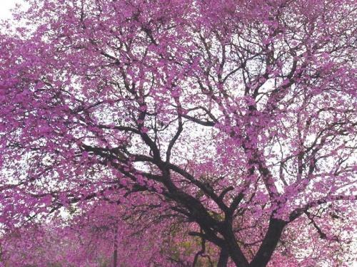 Imagenes de arboles rosas imagui - Arbol de rosas ...