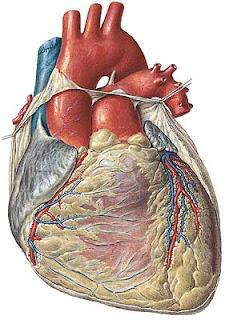 crean primer corazón con células madre