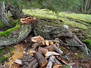 Prone fir lost upright trunk, photo by Robin Atkins