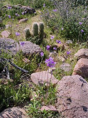 desert scene, wildflowers, near Phoeniz AZ, photo by Robin Atkins