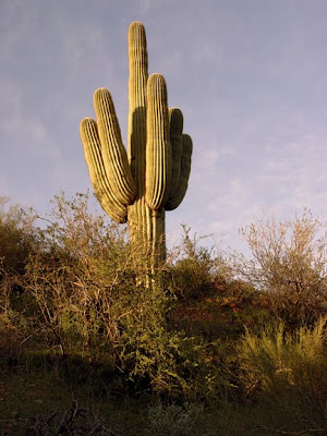 saguaro cactus, Bush Hwy, near Phoeniz AZ, photo by Robin Atkins