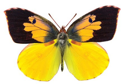 dogface butterfly, male