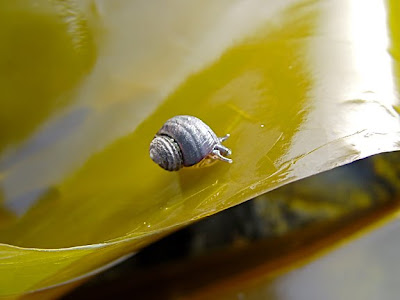snail on kelp, photo by Robin Atkins