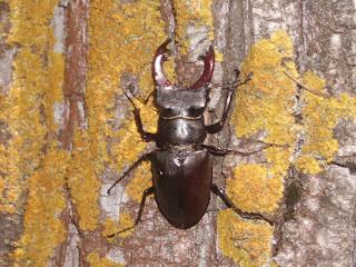 Рогатый жук