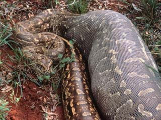 Bolivian anaconda - photo#20