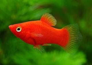 Аквариумни рибки - Плата