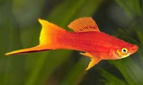 Аквариумни рибки - Хелер