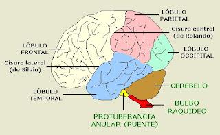 vista lateral de los lóbulos del cerebro