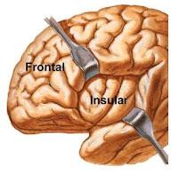 el lóbulo insular se ubica por debajo de los lóbulos frontal, temporal y parietal y oculto por la cisura de Silvio. Se sospecha que este lóbulo insular (o de la ínsula) está relacionado con impulsos sensitivos de los órganos viscerales.
