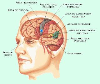 Áreas sensitivas y motoras de la corteza cerebral