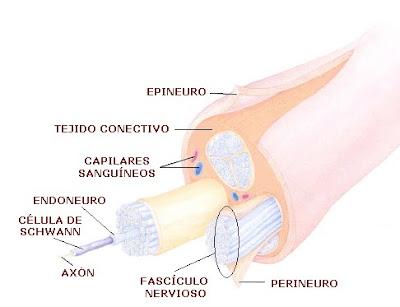 Estructura de un nervio